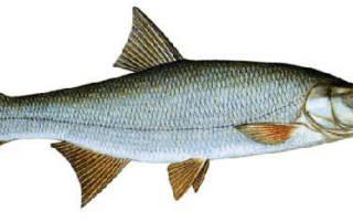 Как выглядит рыба жерех фото
