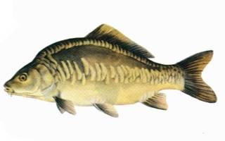 Карп костлявая рыба или нет
