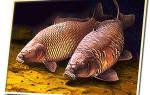 Сазан рыба морская или речная