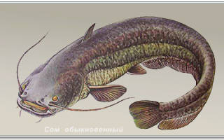 Рыба сом фото и описание