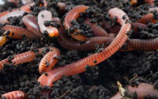 Как разводить дождевых червей в домашних условиях