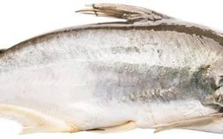 Рыба пангасиус фото живой рыбы как выглядит