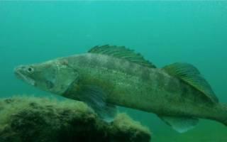 Как выглядит рыба судак