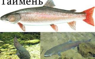 Таймень рыба фото описание
